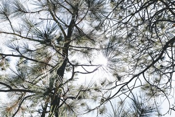 pine needle forest